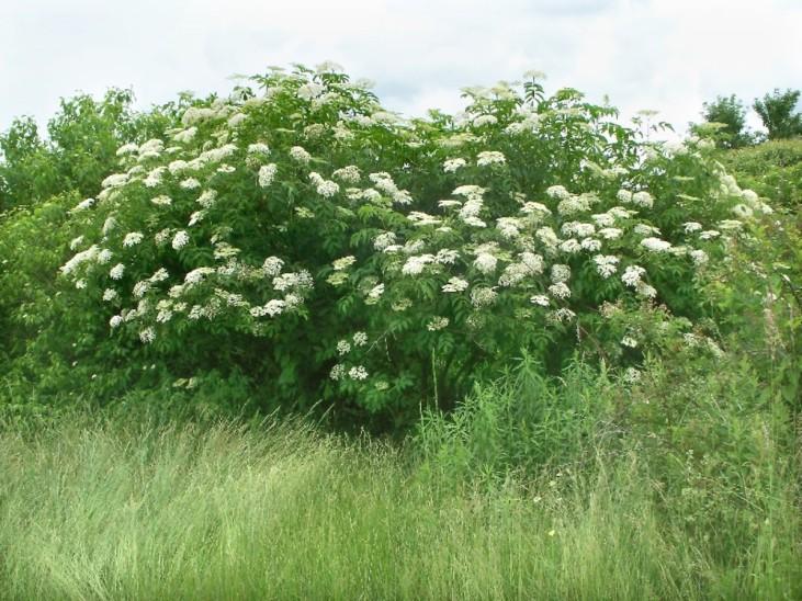 Black Elderberry Sambucus-nigra