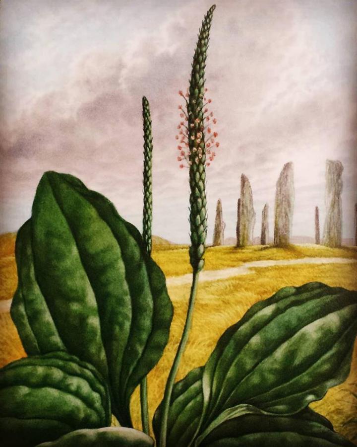 Plantain Druid Oracle